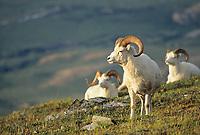 Dall sheep rams, Midnight sun, Denali National Park, Alaska.