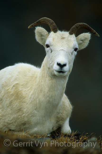Dall Sheep (Ovis dalli) ewe. Brook's Range, Alaska. September.