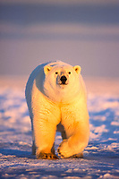 polar bear, Ursus maritimus, walking on the pack ice of the frozen 1002 coastal plain, Arctic National Wildlife Refuge, Alaska, polar bear, Ursus maritimus