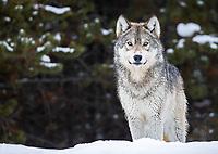 Yellowstone Winter 2020 Wolves