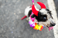 A dog, dressed in a fancy costume, takes part in the Blocao pet carnival parade at Copacabana beach in Rio de Janeiro, Brazil, 12 February 2012.