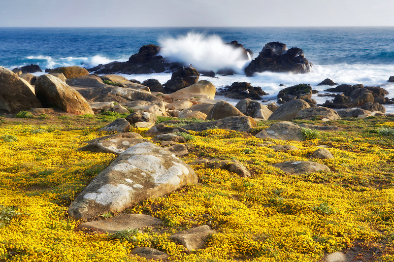 Yellow wildflowers and ocean wave. Salt Point State Park. California