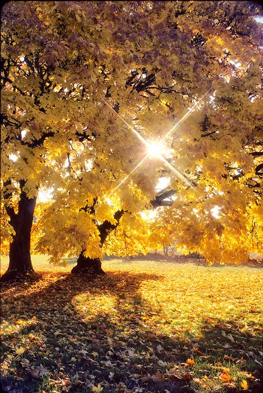 Big leaf maple in fall color. Monroe, Oregon