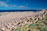 bird flock, nesting colony of black-browed albatrosses, Thalassarche melanophris, Steeple Jason Island, Falkland Islands, British Overseas Territories, United Kingdom, South Atlantic