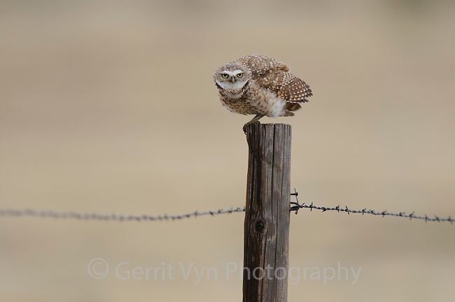 Adult male Burrowing Owl (Athene cunicularia) singing from a fence post. Cimarron National Grassland, Kansas. April.