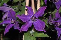 Clematis Guiding Promise aka Evipo053(N)', short-growing clematis perennial vine with purple flowers, purple stamens with white tips