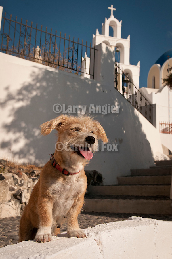 A dog looks over a wall below a church in Vothonas (cave city), Santorini, Greece.