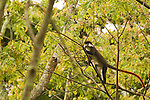 Red-tail Monkey (Cercopithecus ascanius) climbing tree, Kibale National Park, western Uganda