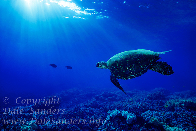 Green Sea Turtle ( Chelonia mydas ) swims underwater off the Big Island of Hawaii, USA.