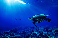 Green Sea Turtle ( Chelonia mydas ) swims underwater off the Big Island of Hawaii, USA.