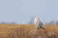 Female Snowy Owl (Bubo scandiacus) perched on a rock. Wolfe Island, Ontario. February.