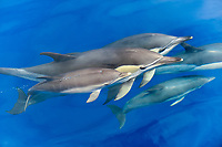 Common dolphin (Delphinus delphis) A baby common dolphin surfaces alongsidetwo adults. Azores