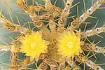 Mexico, Baja California Sur, San Jose del Cabo, Barrel Cactus (Ferocactus glaucescens)