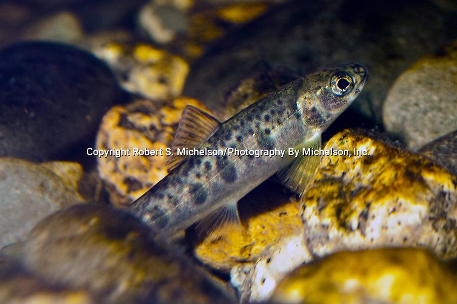 Atlantic Salmon parr in Maine River.