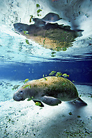 Florida manatee, Trichechus manatus latirostris, a subspecies of West Indian manatee, Trichechus manatus, being cleaned by sunfish, Lepomis sp., Three Sisters Springs, Crystal River, Florida, USA