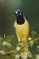 Green Jay, Cyanocorax yncas, adult on Guajillo (Acacia berlandieri) , Willacy County, Rio Grande Valley, Texas, USA