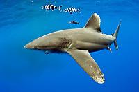 oceanic whitetip shark, Carcharhinus longimanus, with pilot fish, Naucrates ductor, note hook in mouth, long pectoral fin, Kona Coast, Big Island, Hawaii, USA, Pacific Ocean