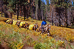 Cowboy leading a mule string through fall colored grasses on the west side of the Sierra, Kern River Canyon, Sequoia National Park, California (Frank)