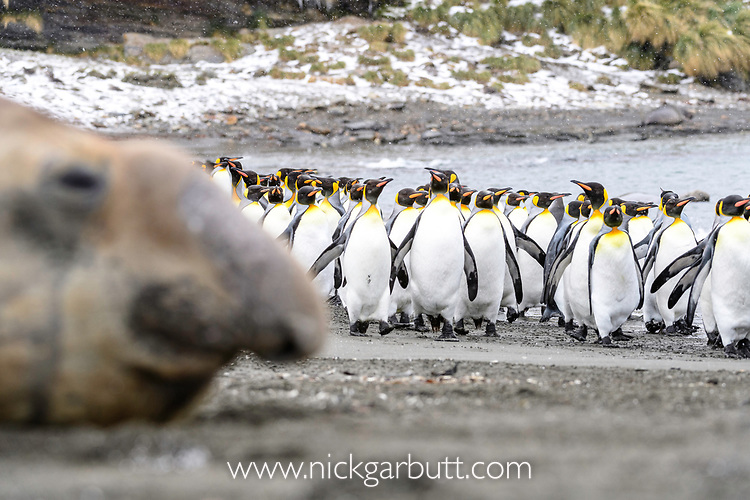 A group of king penguins (Aptenodytes patagonicus) walking along the beach with out of focus male elephant seal (Mirounga leonina). St Andrews Bay, South Georgia, South Atlantic.