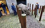 Foto: VidiPhoto<br /> <br /> ARNHEM – Succesvol fokken met een bedreigde diersoort heeft als gevolg dat ze ook een keer moeten verhuizen. Dat gebeurde dinsdag met 1200 kilko zware breedlipneushoornvrouwtje Wiesje van Burgers' Zoo in Arnhem. De dikhuid vertrekt naar het dierenpark van Augsburg (Duitsland). Om het topzware dier te kunnen vervoeren was een speciale dieplader nodig. Burgers' Zoo staat in Europa's top vijf van meest succesvolle fokkers van breedlipneushoorns. Sinds 1998 zijn er in Arnhem in totaal twaalf neushoorntjes geboren. Als alles goed blijft gaan, worden er in 2021 zelfs twee geboortes verwacht. In het kader van het Europese fokprogramma en om alvast ruimte te maken voor de twee komende neushoornbaby's, verhuizen twee jonge vrouwtjes vanuit Arnhem naar collega-dierenparken in Europa. Het tweede vrouwtje vertrekt begin 2021.