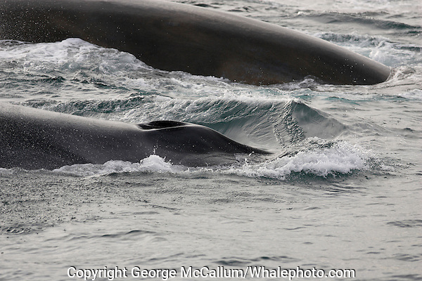 Fin Whale Balaenoptera physalus Pair surfacing close up of splash guard and blowholes Spitsbergen Arctic Norway North Atlantic