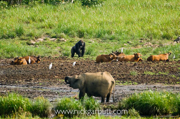 Male Silverback Western Lowland Gorilla (Gorilla gorilla gorilla) emerging into Langoue Baie, Ivindo National Park, Gabon, Central Africa.