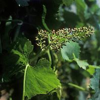 Europe/France/Aquitaine/33/Gironde/Quinsac: Le vignoble (AOC Premières côtes de Bordeaux) - la vigne en fleur