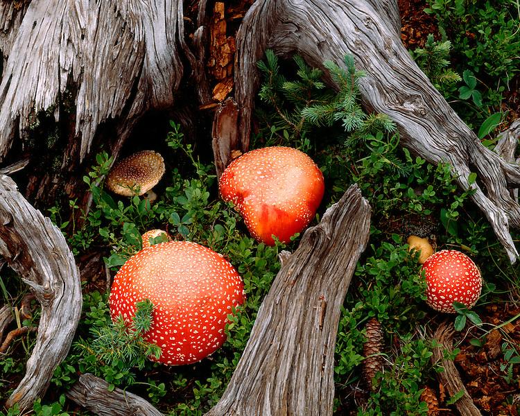 Amanita mushrooms (Amanita muscaria) in the Sangre de Cristo Range, Carson National Forest, NM