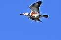 00699-009.12 Belted Kingfisher female in flight against a blue sky.  Lake, river, fish.