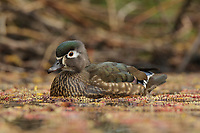 Adult female wood Duck (Aix sponsa) in spring. King County, Washington. March.