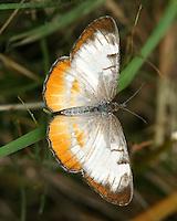 Amymone butterfly