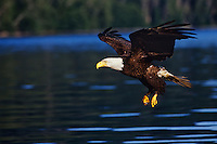 Bald Eagle making approach to catch a fish.