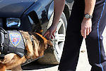 K-9 officer Bosco the German Shepherd dog sniffing for drugs in a car during a drug search.  Germantown Police Department, Wisconsin