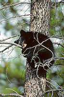 Black bear cub resting in tree.  Northern Rockies.  Fall.