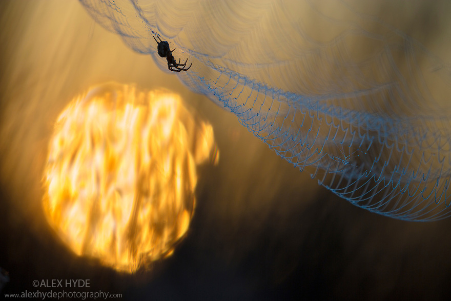 Orbweaver spider in its dew-laden web at sunrise. Danube Delta, Romania. May.