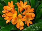 Clivia Flower, Amaryllidaceae, Kaffir Lily, Cypress Garden, Mill Valley, California