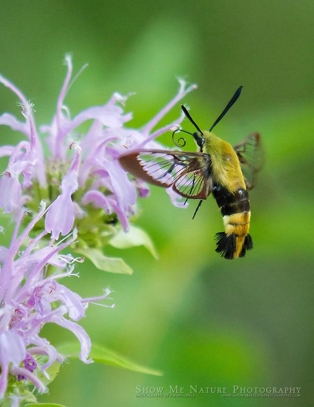 Hummingbird Moth (Clearwing) collecting nectar from Monarda wildflower