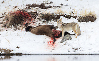 A coyote pauses while feasting on a fresh bison carcass along the Madison River. We had seen this young bison for days before it finally succumbed. It's unknown whether it died of natural causes or if the coyote managed to take down the weakened animal on its own.