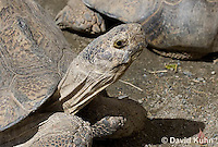 0417-1006  Leopard Tortoise, Geochelone pardalis  © David Kuhn/Dwight Kuhn Photography.
