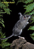 MU14-150z   White-Footed Mouse - Immature - Peromyscus leucopus