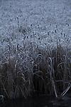 cattail marsh, winter, ice fog, Okanogan County, Eastern Washington, Washington State,