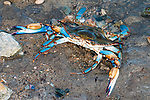 Blue crab at edge of water during low tide.