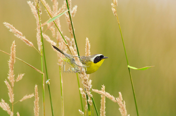 Male Common Yellowthroat (Geothlypis trichas) male.  Pacific Northwest.  Summer.