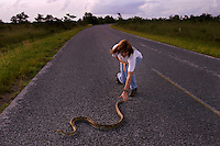 "Park biologist Laurie Oberhoffer goes after an escaping Burmese Python that was caught <br /> along this road in Everglades National Park. One time pets get too big and hungry for owners to handle and they are released into the ""wild."" In the 70s a few Burmese python citings were documented in the park. In the mid-90s, there were more reports. In the past two years, the number has grown and there is evidence that the snake that grows to 12 feet long is established and breeding in the park. Enough have multiplied that native Everglades wildlife is threatened."