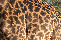 Close-up of the pattern of a Masai Giraffe, Giraffa camelopardalis tippelskirchii, in Serengeti National Park, Tanzania
