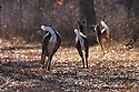 00275-197.20 White-tailed Deer (DIGITAL) \Three does run with tails raised in forest opening during fall.  Action, bound, flee, hunt.  H2A1