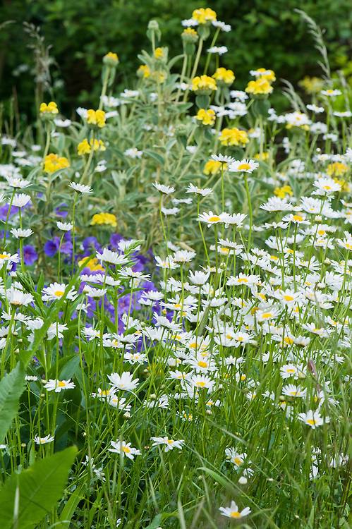 Oxeye daisies (Leucanthemum vulgare) and Jerusalem sage (Phlomis fruticosa), earlt June.