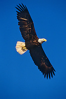 Bald Eagle (Haliaeetus leucocephalus) in-flight
