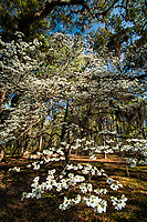 Spring dogwood trees in lowcountry forest