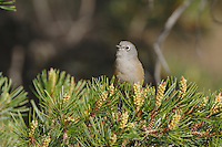 Colima Warbler (Vermivora crissalis), adult, Chisos Mountains, Big Bend National Park, Chihuahuan Desert, West Texas, USA
